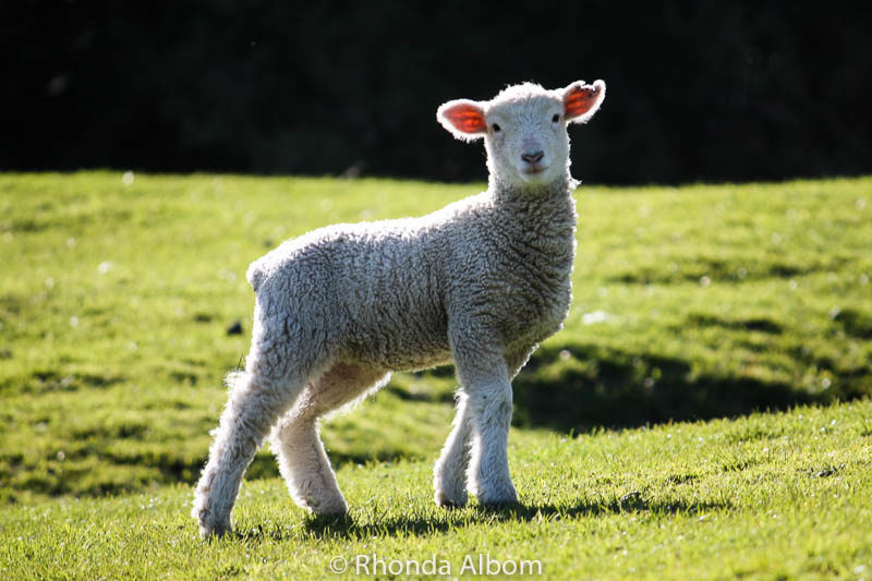Adorable lamb on the South Island of New Zealand