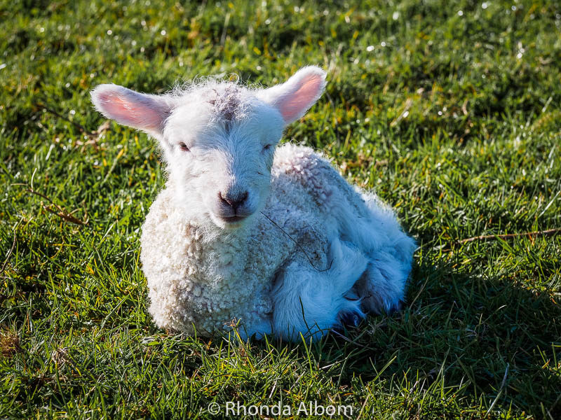 Newborn lamb in Shakespear Park, Auckland New Zealand