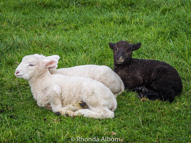 Black lamb in Shakespear Park, Auckland New Zealand
