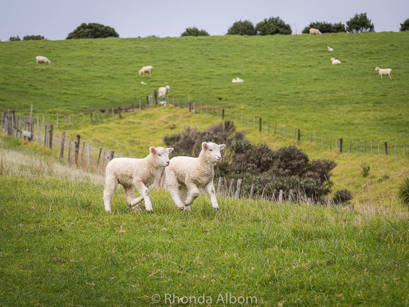 Baby lambs playing in Shakespear Park, Auckland New Zealand