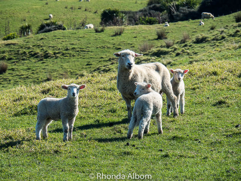 Sheep and three lambs in Shakespear Park, Auckland New Zealand