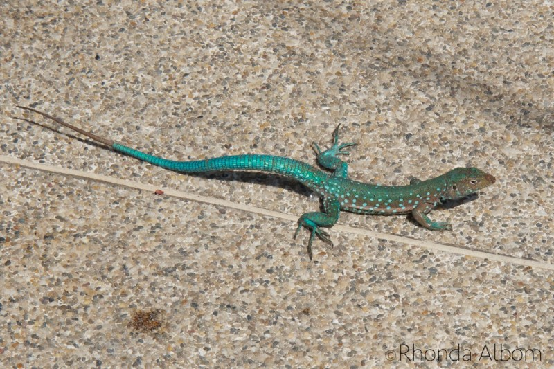 Lizard on the Caribbean island of Aruba