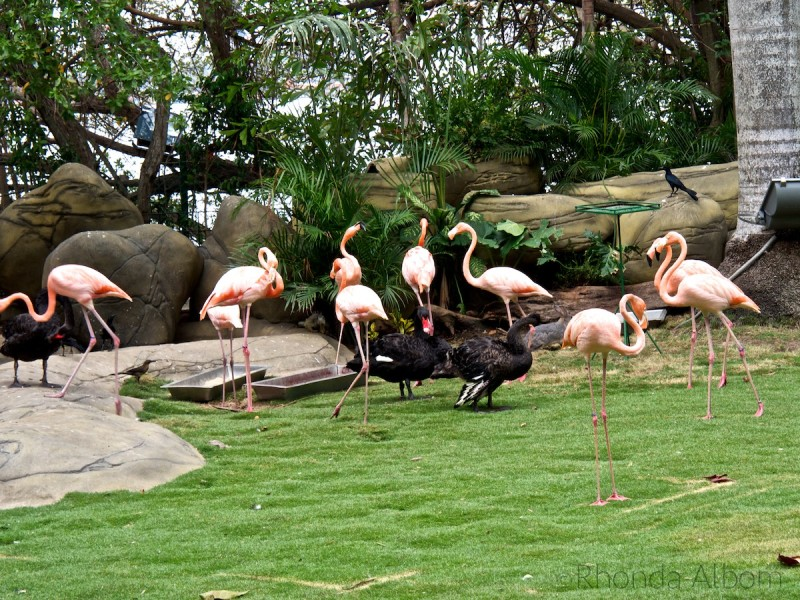 Black swans and flamingos at the Port of Cartagena Columbia