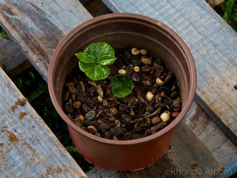 Baby coffee plants at the Espiritu Santo Coffee Plantation in Costa Rica