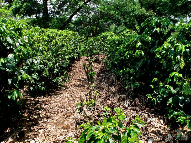 Rows of Coffee Plants at the Espiritu Santo Coffee Plantation in Costa Rica