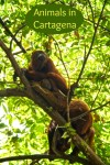 Howler monkeys are amongst the many animals at the Port of Cartagena Colombia