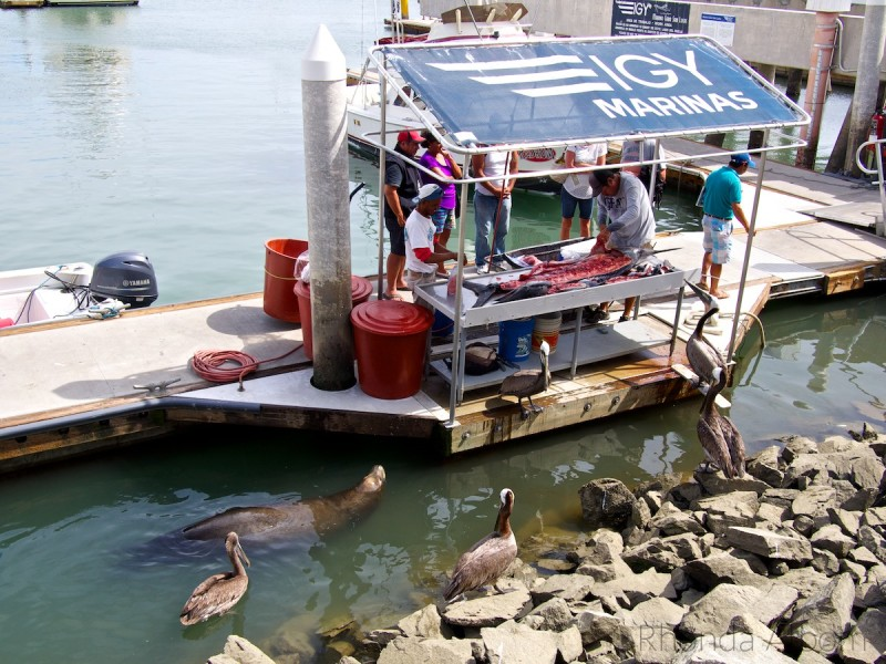 Sealion and pelicans watch fisherman cleaning their catch in Cabo San Lucas.