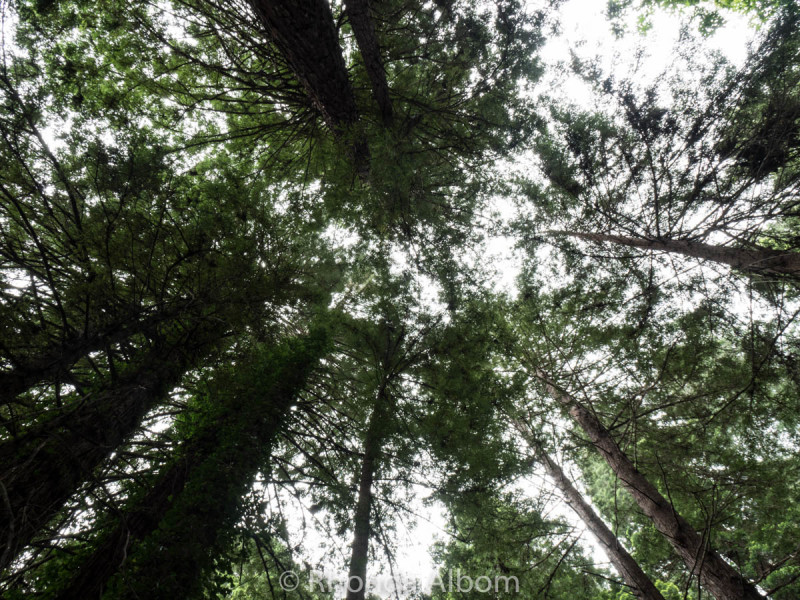 Looking up at the redwood trees in the Avenue of the Giants, California, USA