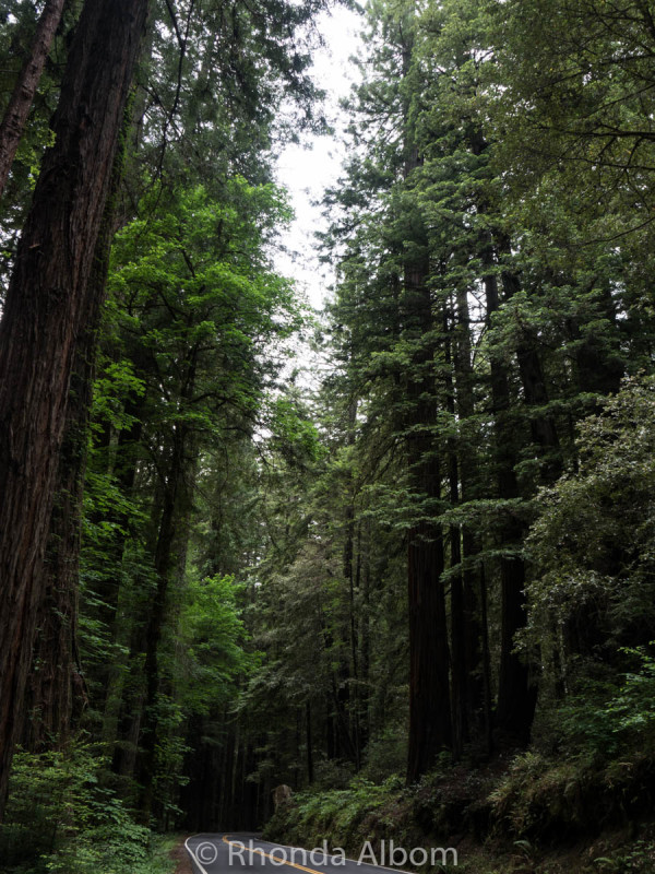 This portion of road through the redwood trees is called the Avenue of the Giants. (Northern California, USA)