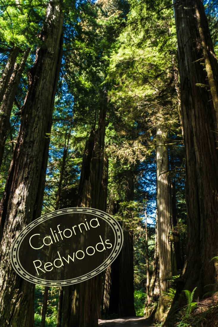 Hiking at Stout Grove in Jedediah Smith Redwoods State Park amongst the giant redwood trees of California.