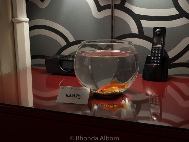 Randy, our companion goldfish