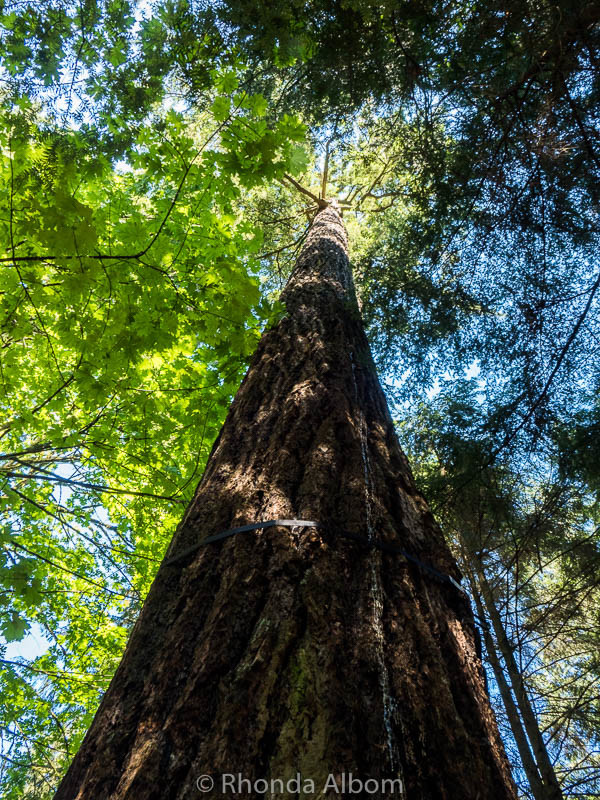 Tall trees at Capilano Park in Vancouver
