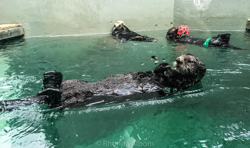 Sea otters at the Seattle Aquarium in Washington USA