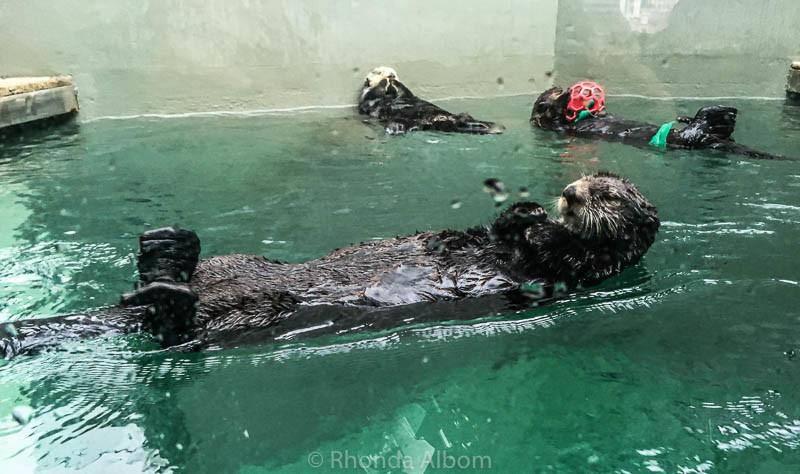 Sea otters at the Seattle Aquarium in Seattle Washington USA