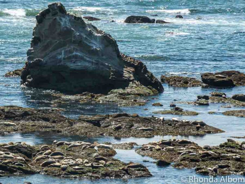 Sea Lions at the Marine mammal view point at Cape Arago, along the Oregon Coast in the USA