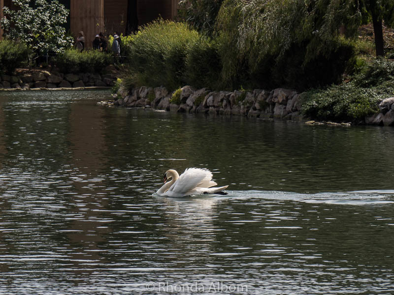 A swan on the lagoon of The Palace of Fine Arts in San Francisco California