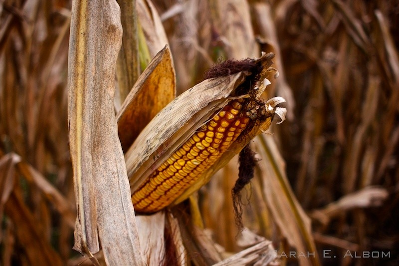 Corn growing in Rosario. Photo copyright ©Sarah Albom 2016