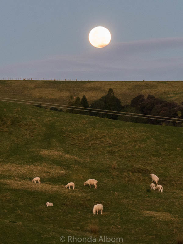 Sheep, Lambs, and a full moon at Shakespear Park in Auckland New Zealand