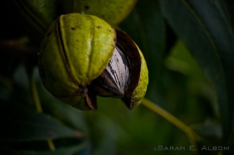 Walnut on the tree in Rosario, Argentina. Photo copyright ©Sarah Albom 2016