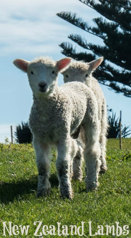 Two Adorable baby Lambs at Shakespear Park in Auckland New Zealand