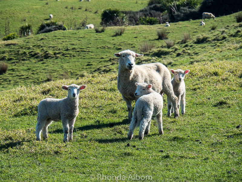 Adorable Lambs and Sheep at Shakespear Park in Auckland New Zealand