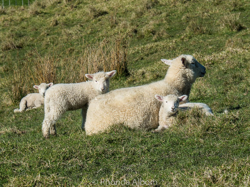 Adorable twin Lambs and Sheep at Shakespear Park in Auckland New Zealand