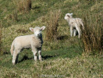 Adorable baby Lambs at Shakespear Park in Auckland New Zealand
