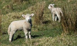 Photos: Adorable Lambs in Shakespear Park, Auckland New Zealand