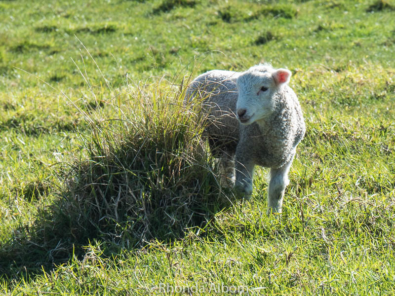 Adorable baby Lamb at Shakespear Park in Auckland New Zealand