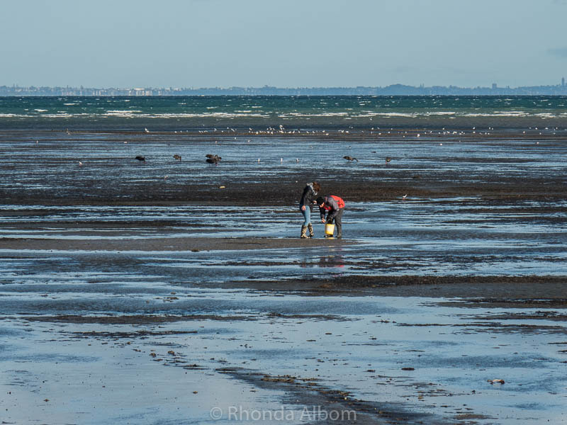 Collecting cockles (small clams) on Okoromai Bay in Auckland New Zealand