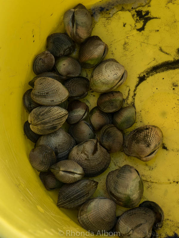Cockles in the shell collected off an Auckland beach in New Zealand