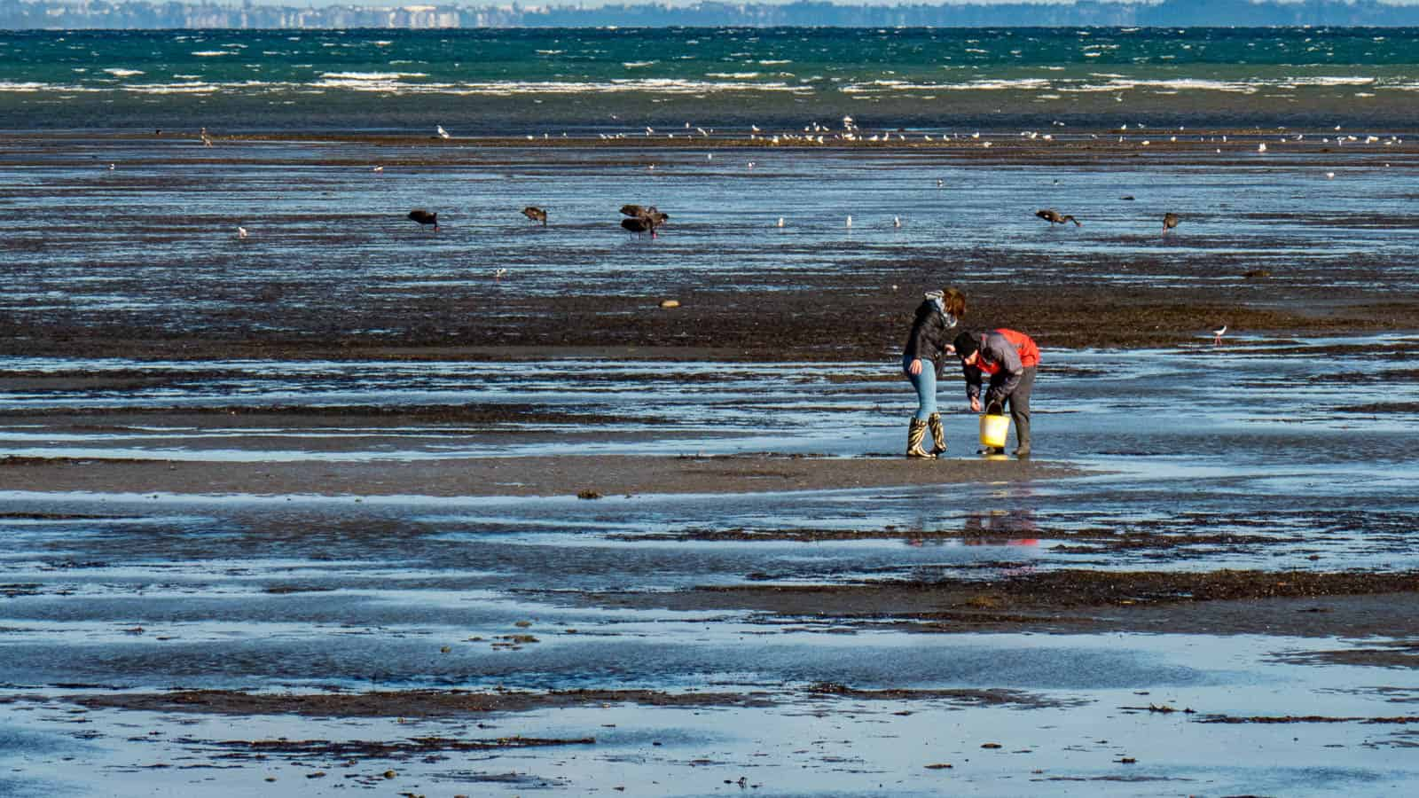 Collecting cockles on Okoromai Bay, Auckland, New Zealand
