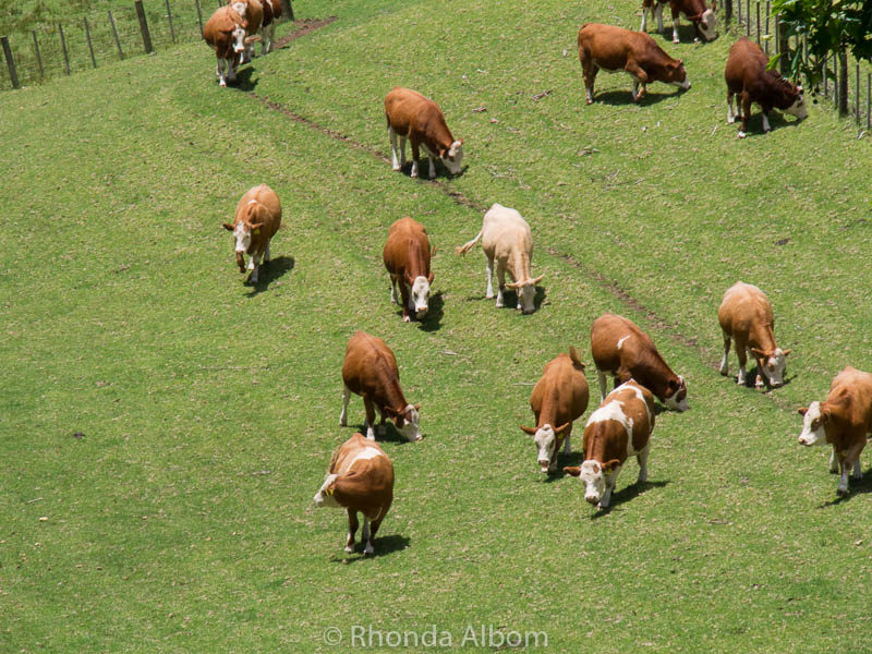 Cows in Cornwall Park, Auckland New Zealand