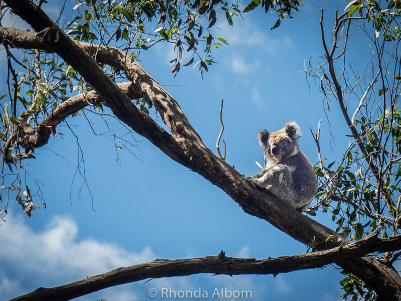 Koala seen from the Great Ocean Raod