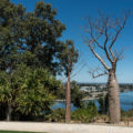 Boab Tree in Kings Park and Botanic Gardens in Perth Australia