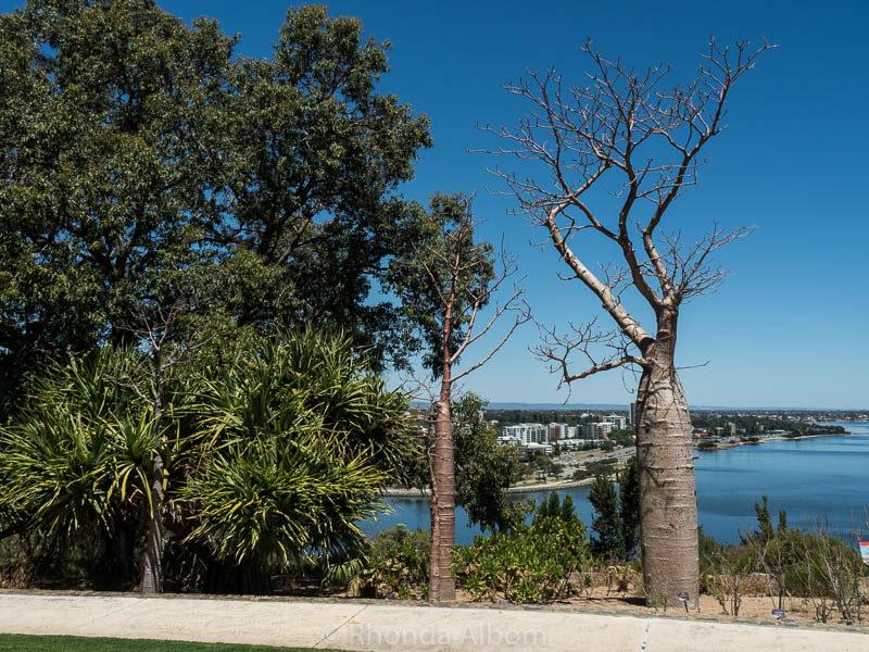 Boab Tree in Kings Park and Botanic Gardens in Perth Australia