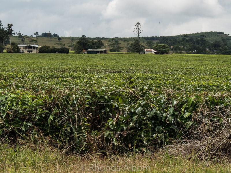 Tea farm of Nevada Tea Plantation