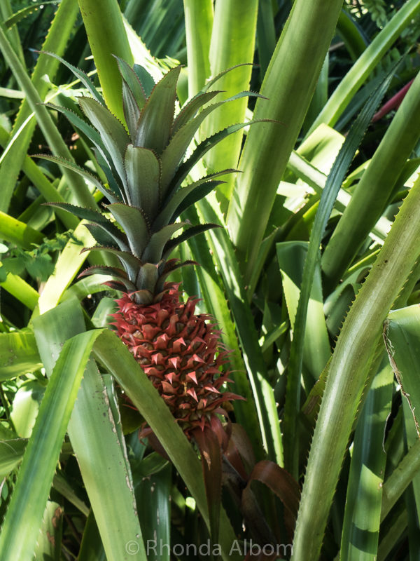 Pineapple at George Brown Botanic Gardens in Darwin Australia