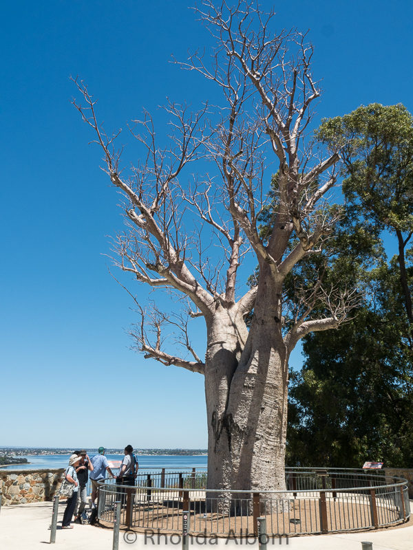Estimated to be 700 years old, this is the oldest boab tree in Australia. It is said to have come originally from Africa.