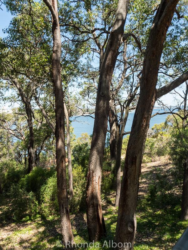 Medicine tree in Western Australia Botanic Garden, Perth