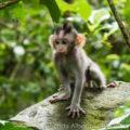 Mandala Suci Wenara Wana Sacred Monkey Forest Sanctuary in Ubud Bali, Indonesia