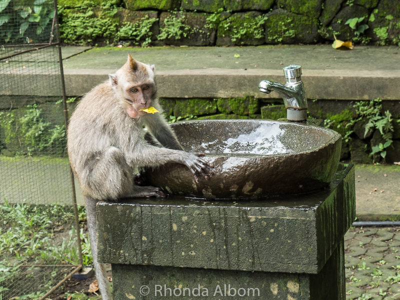 Monkey in a water fountain in Ubud, Bali Indonesia