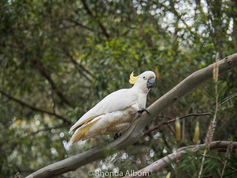 Sulphur Crested Cockatoos in Brambuk Cultural Center, Halls Gap, Australia