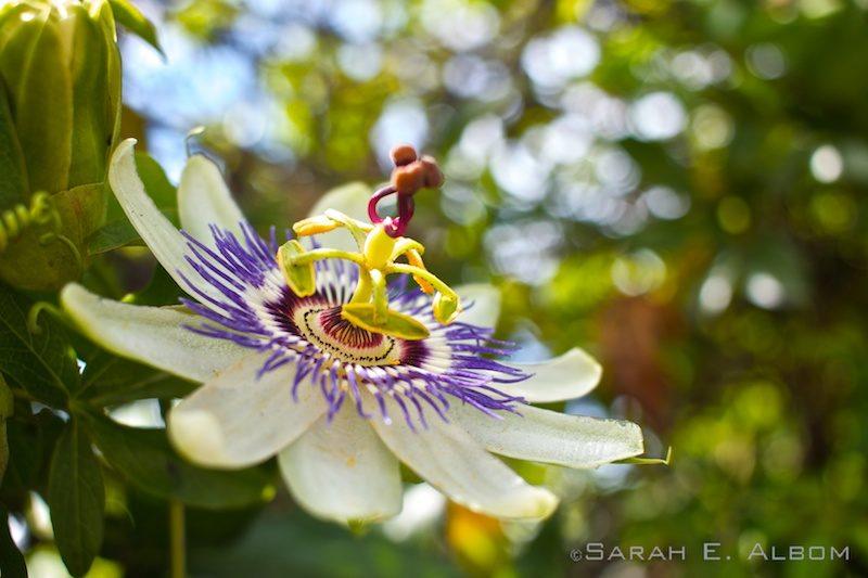 Passionfruit flower in Argentina. Photo copyright ©Sarah Albom 2016