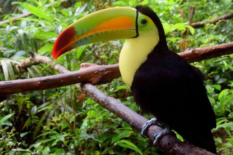 Toucan in the Belizean jungle