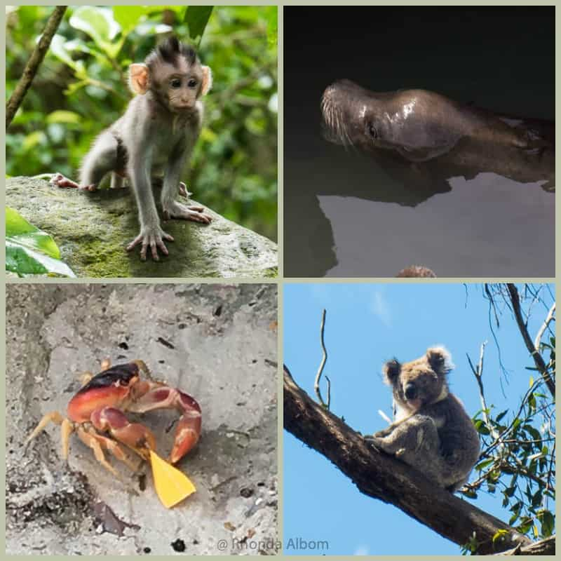 Monkey, sea lion, koala and crab from different corners of the world.