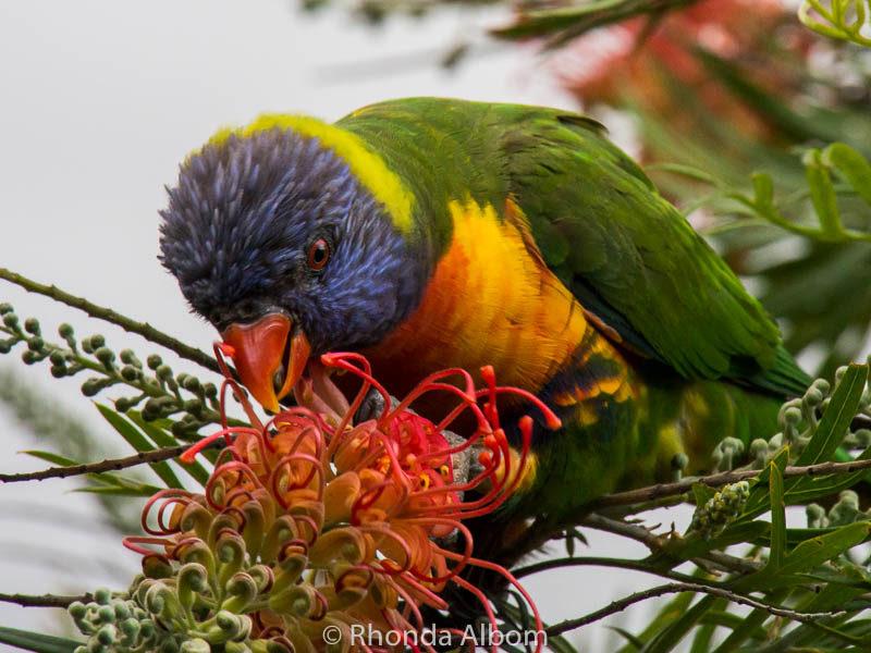 Rainbow Lorikeet in Australia