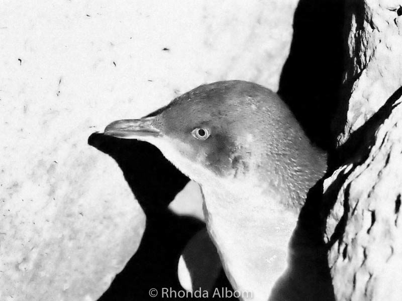 Little blue penguin seen in St. Kilda in Melbourne, Australia