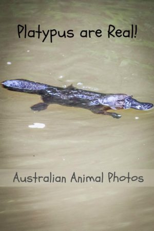 This platypus is one of several interesting animals I was able to photograph while visiting Australia.