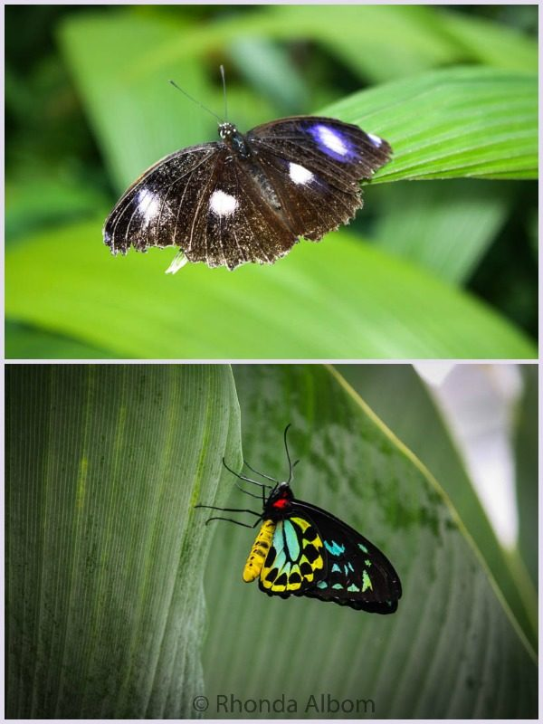 Two of the over 400 different species of butterflies in Australia.